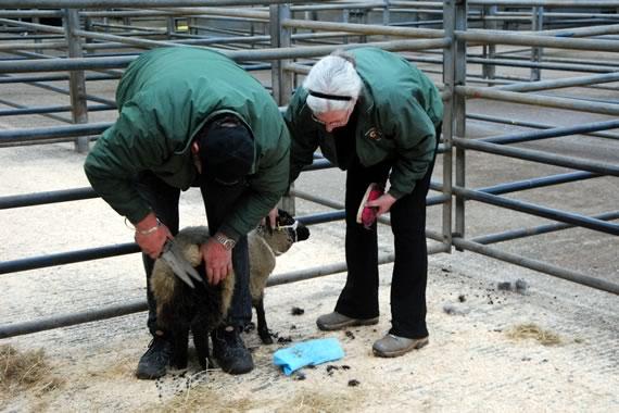 Sheep preparation