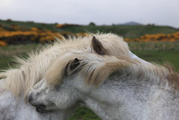 Eriskay Ponies